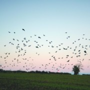 World-of-Animals-bird-flock-616x409