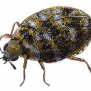 carpet-beetle