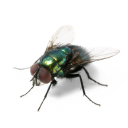 Have A Flies Pest Problem In Leeds Fly Treatment Pestserve