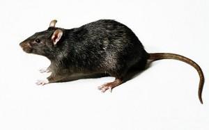 PHOTOSPEED10NG / Animal Rodent Rat