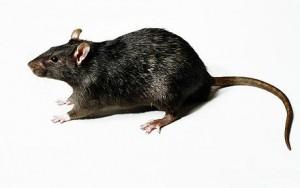 Get Rid Of Rats In Garden